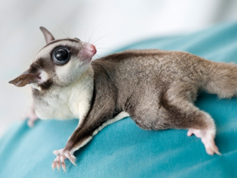 Possum or sugar glider